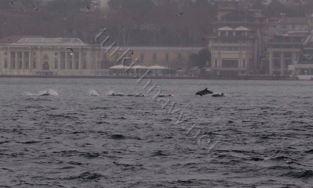 A school of Dolphins enjoying their freedom of navigation in Bosphorus. Their nationalities was not identified.